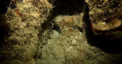 A Banded Boxer Shrimp, Stenopus hispidus