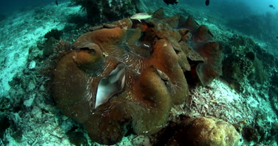 Medium shot of the openings of a huge Giant clam,Tridacna gigas