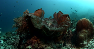 Tilt and pan shot of a huge Giant clam,Tridacna gigas