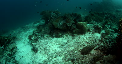 Reveal of Two Giant Clams,Tridacna gigas
