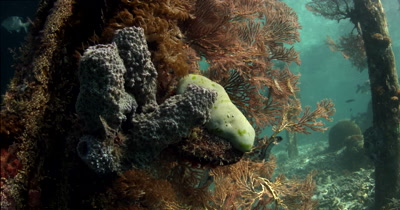 Sponges and corals under the pier while Rudderfish swimin the background
