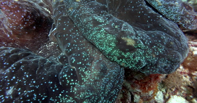 Close up shot of the luminous dots on the flesh of a huge Giant clam,Tridacna gigas