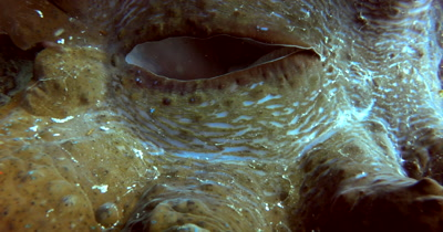 Close up shot of the openings of a huge Giant clam,Tridacna gigas moving
