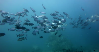 A wide shot of a large group of Lowfin Rudderfish,, Lowfin Drummer, Kyphosus vaigiensis