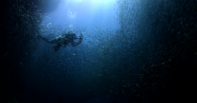 A Silhouette of a diver swimming in a large bait ball of Anchovies, Stolephorus indicus