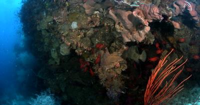 Two Sweetlips sp, Plectorhinchus sp a Barramundi cod (Pantherfish or Humpback Grouper or Polkadot Grouper), Cromileptes altiveli and a school of red Blotcheye Soldierfish, Myripristis murdjan on the reef