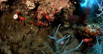 A Sweetlips sp, Plectorhinchus sp a Barramundi cod (Pantherfish or Humpback Grouper or Polkadot Grouper), Cromileptes altiveli and a school of red Blotcheye Soldierfish, Myripristis murdjan on the reef