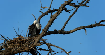 An African Fish Eagle,Haliaeetus vocife guards its nest while grooming and then throws its head back and calls out