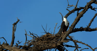An African Fish Eagle,Haliaeetus vocife guards flies off from its nest
