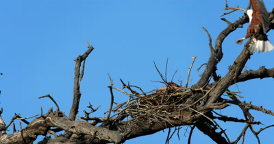 An African Fish Eagle,Haliaeetus vocife flies back with an extra twig, to build onto its nest