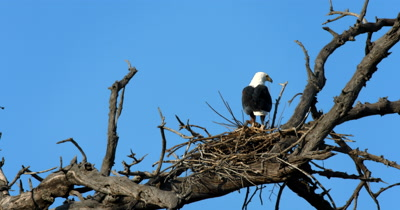 An African Fish Eagle,Haliaeetus vocife guards its nest while throwing its head back and calling out