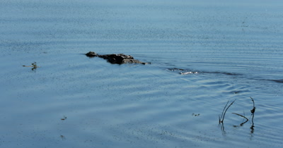 A Nile crocodile, Crocodylus niloticus floats down Chobe river, while Dragon flies eat the  mosquitoes swarming  on the surface of the river