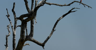 Reveal of An African Fish Eagle,Haliaeetus vocife on a branch of a tree