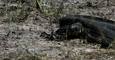 Close up of the claws and scaly skin of a Monitor Lizard, Varanus exanthematicus crawling through the river bank, searching for food with its forked blue tongue