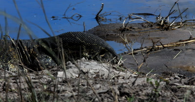 Extreme Close up of the head and  forked blue tongue Monitor Lizard, Varanus exanthematicus searching for food on the river bank