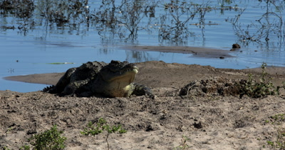 A Nile crocodile, Crocodylus niloticus  baking in the sun on the river bank,while a second one enters the frame and he shows his large jaw full of sharp teeth.