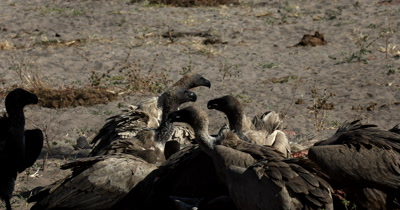 A reveal shot of a  Nile crocodile, Crocodylus niloticus  approaching/stalking the Vultures at the Kudu kill