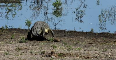 A Nile crocodile, Crocodylus niloticus moves towards the river