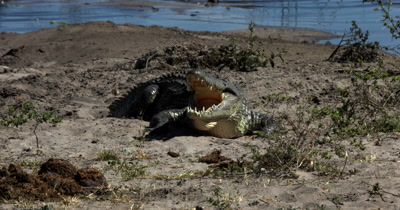 A Nile crocodile, Crocodylus niloticus with a open mouth,bares its strong jaw and sharp teeth