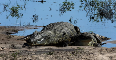 A large Nile crocodile, Crocodylus niloticus moves up past another crock and frightens a smaller crock infront of it
