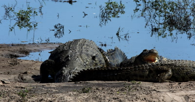 A large Nile crocodile, Crocodylus niloticus moves up past another crock
