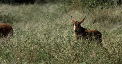 A baby/Juvenile Sable antelope,Hippotragus niger runs through the grass
