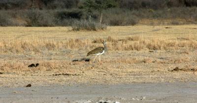 A Kori bustard,  Ardeotis kori walking in the Savannah grass