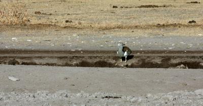 A Kori bustard,  Ardeotis kori sitting drinking water