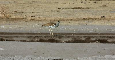 A Kori bustard,  Ardeotis kori walking along the water point