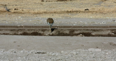 A Kori bustard,  Ardeotis kori  crouches down on its hind bent legs to drink water from the water point bank gets a fright