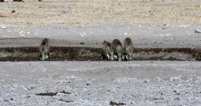 A Warthog, Phacochoerus aethiopicus family drinking water as a Kori bustard,  Ardeotis kori walks past