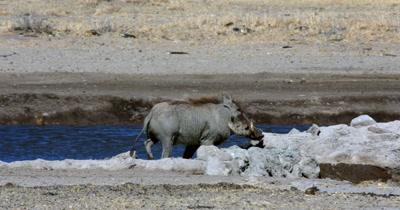 A Warthog, Phacochoerus aethiopicus walking along the waters edge as a Kori bustard,  Ardeotis kori walks past