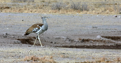 A close up of a  Kori bustard,  Ardeotis kori walking along the water point stopes to eat off the sand