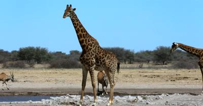 Two Giraffe, Giraffa and a few Eland Antelope,Taurotragus oryx at the water hole