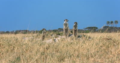 A family of Meerkat or Suricate, Suricata suricatta standing upright, warming their tummies in the morning sun