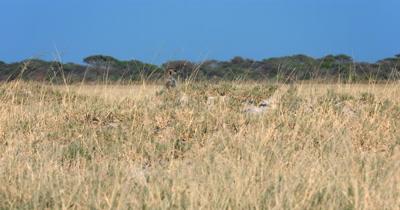 A Meerkat or Suricate, Suricata suricatta peeping out of its burrow