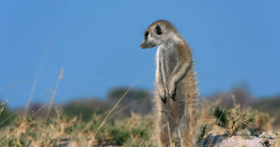 An extreme close up of the body of an an upright  Meerkat or Suricate, Suricata suricatta  looking about and warming its tummy in the morning sun
