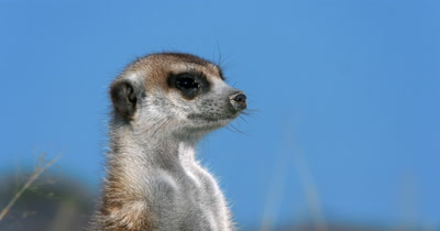 An extreme close up of  the head and face of a Meerkat or Suricate, Suricata suricatta  looking about with its nose covered in sand