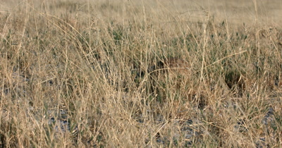 A Meerkat or Suricate, Suricata suricatta searching and eating food in the grass