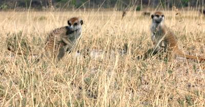Two inquisitive Meerkat or Suricate, Suricata suricatta peering through the grass