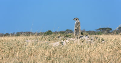 A  Meerkat or Suricate, Suricata suricatta standing upright keeping a look out at the foot of its burrow