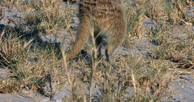 An reveal  close up shot of a Meerkat or Suricate, Suricata suricatta  body standing upright