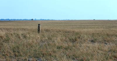 A wide shot of a Meerkat or Suricate, Suricata suricatta  standing guard in the grass field