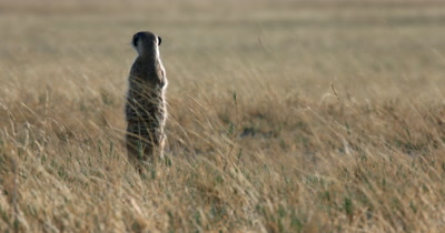 A close up shot of a Meerkat or Suricate, Suricata suricatta  standing guard in the grass field who then has an itchy spot on its back