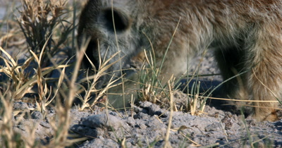 An extreme  close up shot of a  Meerkat or Suricate, Suricata suricatta  eating and digging in the sand
