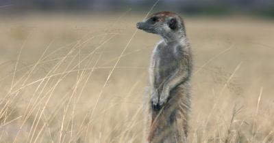 A close up shot of a Meerkat or Suricate, Suricata suricatta  standing guard in the grass field