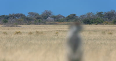 Close up shot coming into focus on a Meerkat or Suricate, Suricata suricatta  upper body