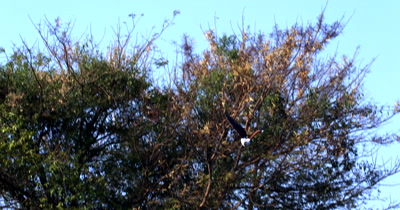 An African Fish Eagle,Haliaeetus vocife fly's from a tree