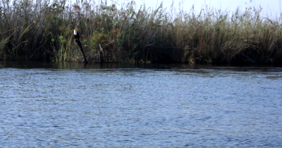 An African Fish Eagle,Haliaeetus vocife flying from its perch swooping down into the river and catching something to eat