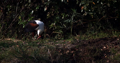 An African Fish Eagle,Haliaeetus vocife fly's eating